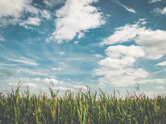 Kukurydza pod chmurami