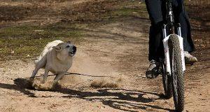 Pogoń psa za rowerem może skutkować upadkiem rowerzysty, kolizją bądź wypadkiem.